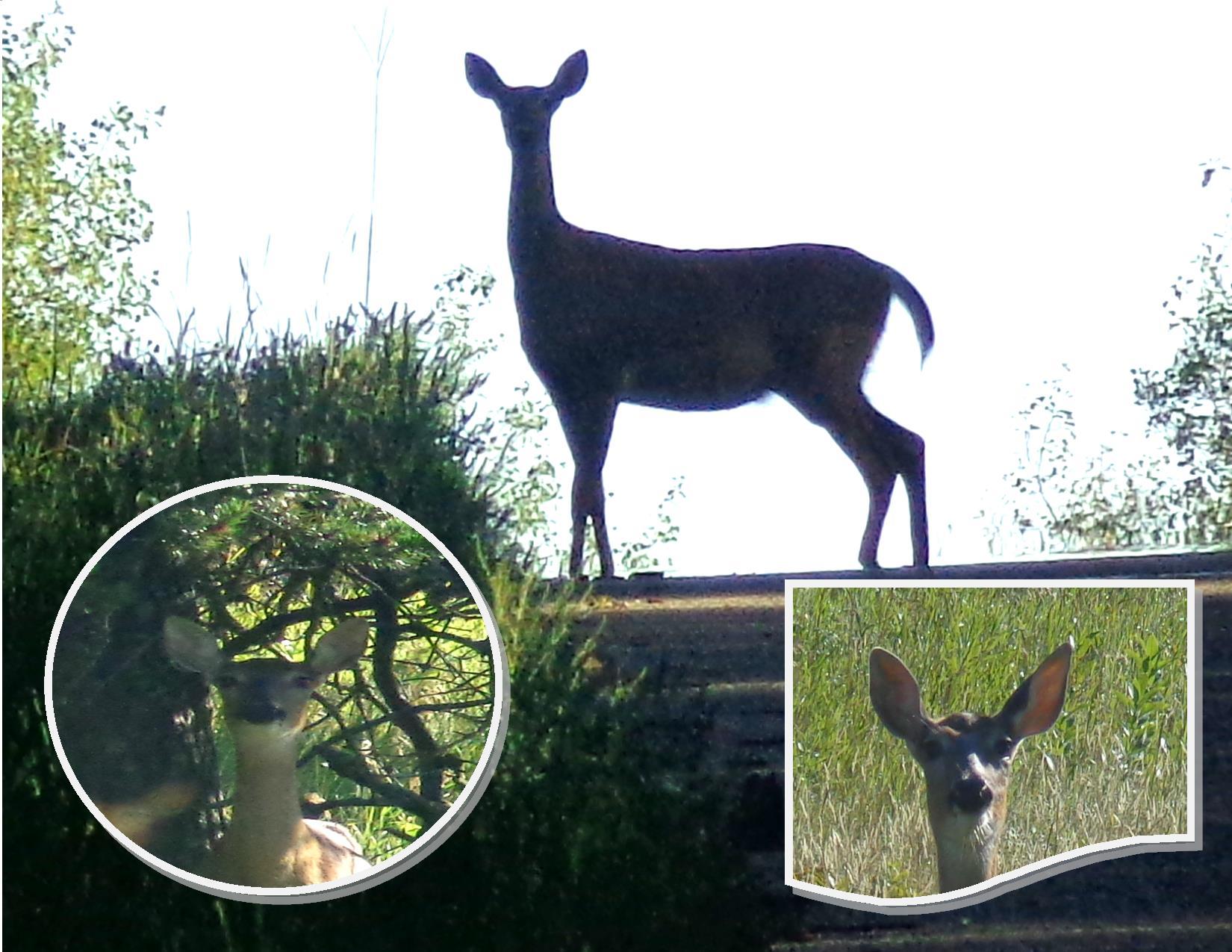 White Tail Deer Encounter